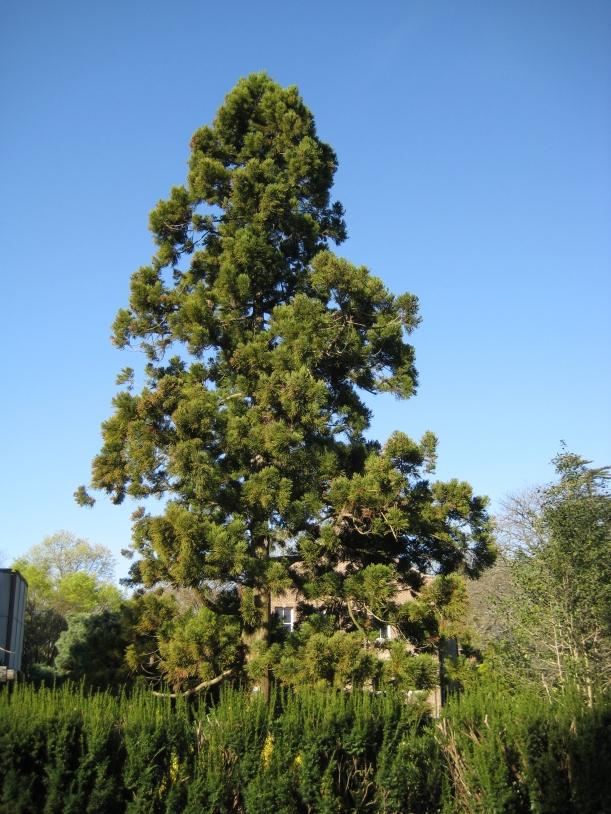 A Japanese Cedar (Cryptomeria Japonica) on campus. Photo by Mark Brand