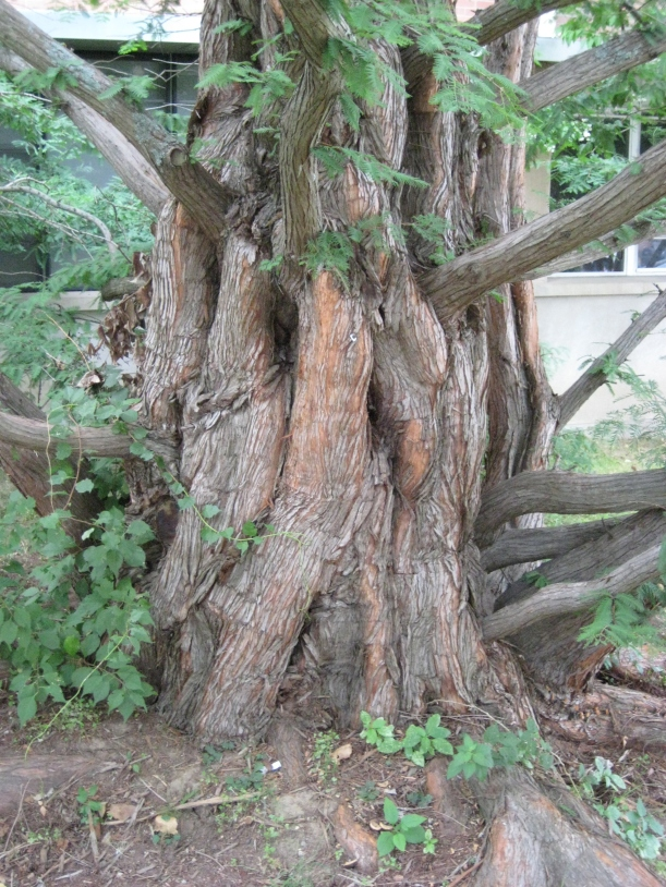 The Dawn Redwood (metasequoia-glyptostroboides) near Arjona Building on Whitney Rd. Photo by Mark Brand