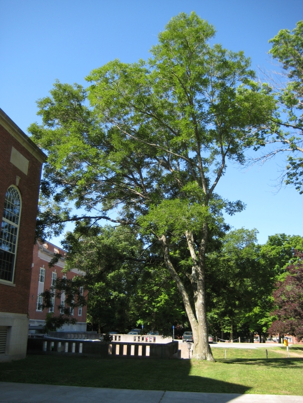 Pagoda Tree (Styphnolobium Japonicum) near Wilbur Cross. Photos by Mark Brand, UConn Plant Science Dept.