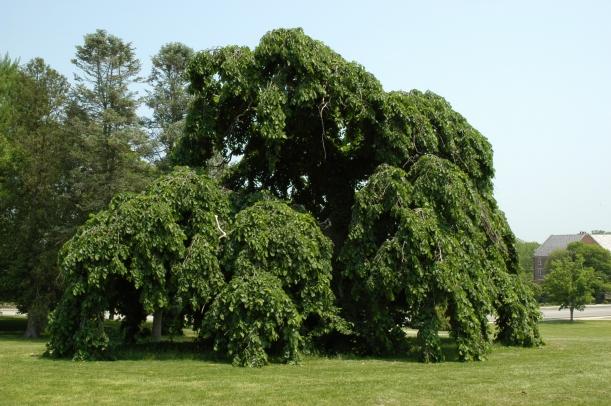 A Camperdown Elm (Ulmus glabra Camperdownii) on the Great Lawn. Photo by Mark Brand